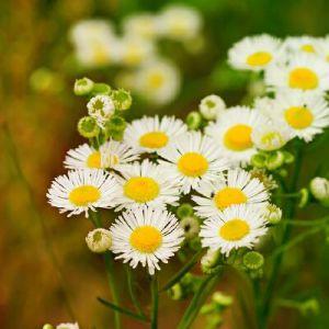 Аптечна ромашка при вагітності: квітки здоров`я