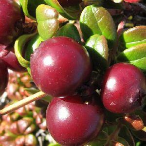 Користь і шкода брусниці: цілюща лісова ягода