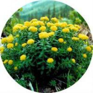 Застосування рослини золотий корінь в народній медицині