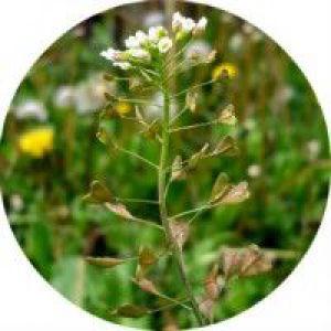 Застосування трави грицики в народній медицині